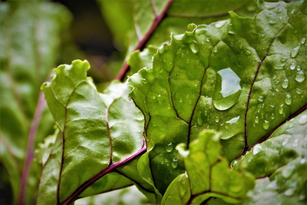 Beet Leaves